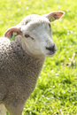 Cute wooly lamb looking Stock Image