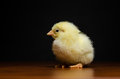 Cute yellow baby chick Royalty Free Stock Photo