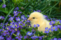 Cute yellow chick Royalty Free Stock Photo