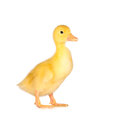 Cute yellow duckling in studio shot Royalty Free Stock Photo