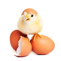 Cute yellow fluffy chick with eggs Royalty Free Stock Photo