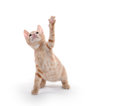 Cute yellow kitten playing Royalty Free Stock Photo