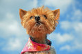 Cute yorkie Royalty Free Stock Images