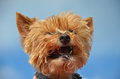 Cute yorkie Royalty Free Stock Image