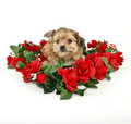 Cute Yorkie-Poo Puppy Royalty Free Stock Photography