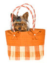 Cute Yorkie pup sitting inside brown handbag Royalty Free Stock Photo