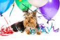 Cute Yorkie puppy with party balloons Stock Photos