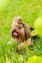 Cute Yorkshire Terrier Dog on the green grass Royalty Free Stock Photo