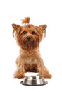 Cute yorkshire terrier portrait with empty bowl metalic looking at camera isolated on white Stock Image
