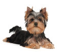 Cute yorkshire terrier puppy on the white background Stock Images