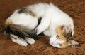 Cute young calico torbie kitten cat lying on couch Royalty Free Stock Photos