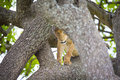 Cute young lion cub plays in tree