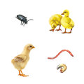 Cute young little chicken and a chick isolated on Royalty Free Stock Photo