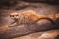 Cute young meerkat in zoo Royalty Free Stock Photo