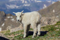 Cute young mountain goat a baby in the high alpine Royalty Free Stock Photo