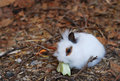 Cute young rabbit eating cabbage Royalty Free Stock Images
