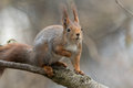 Cute young red squirrel sitting on tree branch looking interested and curious Royalty Free Stock Photo