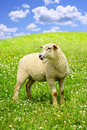 Cute young sheep Stock Photos