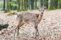 Cute young sika deer fawn Royalty Free Stock Photo