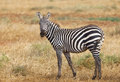 Cute zebra in tsavo east in kenya a national park with a straw or blade of grass ist mouth Royalty Free Stock Photos