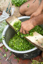 Cutting coriander in Delhi, India Royalty Free Stock Photo