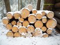 Cutting of trees winter in the forest ready to be taken to a timber factory Stock Photo