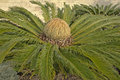 Cycad cone (cycas revoluta) Royalty Free Stock Photo