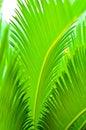 Cycad leaf Royalty Free Stock Photo