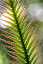 Cycad leaf Stock Photography
