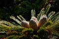 Cycad leaves and cones Royalty Free Stock Photo