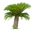 Cycad palm tree isolated on white background Royalty Free Stock Photography