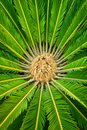 CYCAD  PLANT Stock Photos