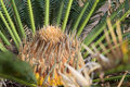 Cycad plant with new leaves Royalty Free Stock Photography
