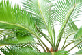 Cycas Royalty Free Stock Photo