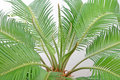 Cycas Stock Photos