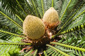 Cycas the crown or of a sago palm tree Royalty Free Stock Photo