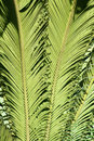 Cycas leaf the close up of scientific name revoluta Royalty Free Stock Photo