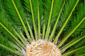 Cycas and little lyzard close up with on the heart of the palm Stock Images