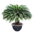 Cycas in the pottery urn Royalty Free Stock Photo