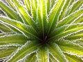 Cycas revoluta plant or sago palm with new leaves emerge all at once in a circular pattern Stock Images