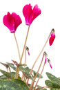 Cyclamen close up flower plant on background Stock Photo