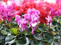 Cyclamen flowers Stock Images