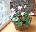 Cyclamen flowers on a window in balcony Royalty Free Stock Photo