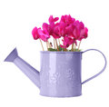 Cyclamen in purple watering can isolated on white Stock Image