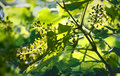 Cycle of grapevines Royalty Free Stock Photo