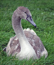 Cygnet Stock Photography