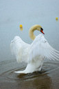 Cygnet looking at me and stand up lake with mist sand Royalty Free Stock Images