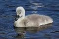 Cygnet a mute swan cygnus olor swimming on a lake Stock Photo