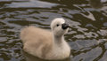Cygnet a newborn swan looking upwards Stock Photography