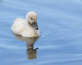 A cygnet is swimming in the water Stock Image